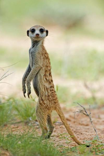 Wall Art - Photograph - Meerkat Keeping Watch by Science Photo Library