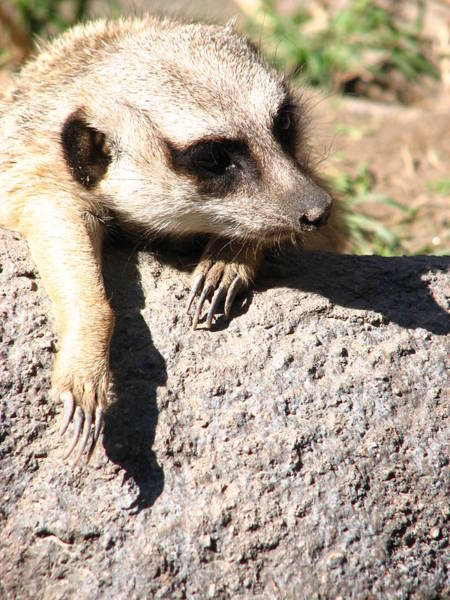 Photograph - Meerkat Relaxing On Rock by Cleaster Cotton