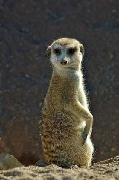 Wall Art - Photograph - Meerkat by Tony Camacho/science Photo Library
