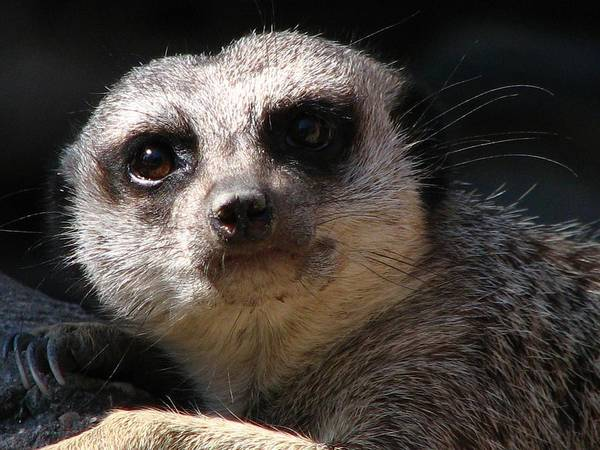Photograph - Meerkat - You Tawking To Me by Cleaster Cotton
