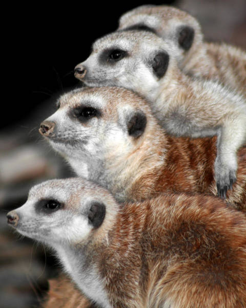 Photograph - Meerkats by Gigi Ebert
