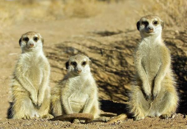 Wall Art - Photograph - Meerkats by Tony Camacho/science Photo Library