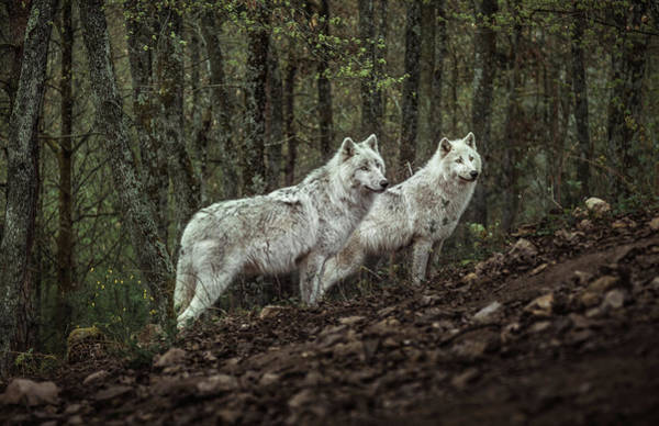 Wall Art - Photograph - Meeting With White Wolves by Ronan Siri