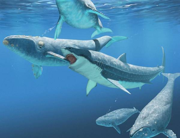 Big 5 Photograph - Megalodon Shark Attacking A Whale by Jaime Chirinos/science Photo Library