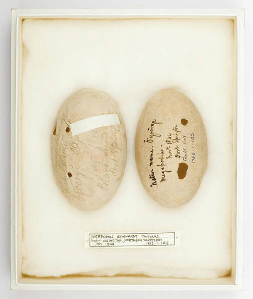 Port Orange Photograph - Megapodius Reinwardt Tumulus Eggs by Natural History Museum, London