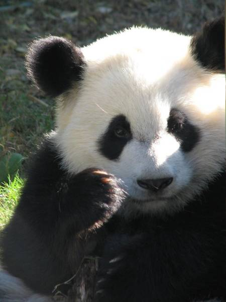 Photograph - Mei Lan Giant Female Panda by Cleaster Cotton