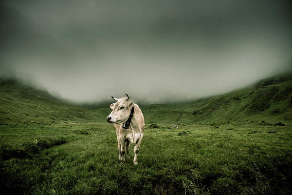 Cow Photograph - Melchsee-frutt  Cow by Didier Baertschiger