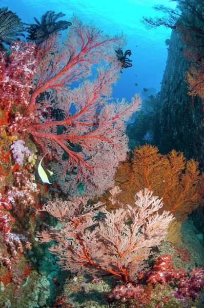 Melithaea Sea Fans Art Print
