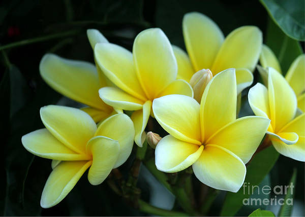 Photograph - Mellow Yellow Plumeria by Sabrina L Ryan