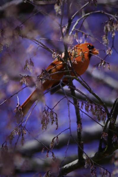Photograph - Memphis Red Bird by Barry Jones