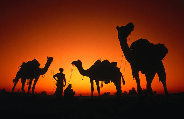 Silhouette Photograph - Men And Camels Silhouetted At Sunset In by Dallas Stribley