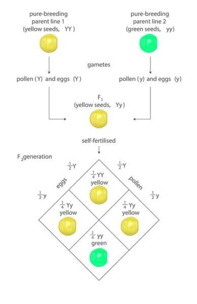 Inheritance Wall Art - Photograph - Mendelian Genetics by Science Photo Library