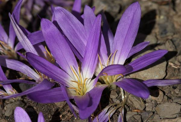 Pyrenees Photograph - Merendera Pyrenaica by Brian Gadsby/science Photo Library