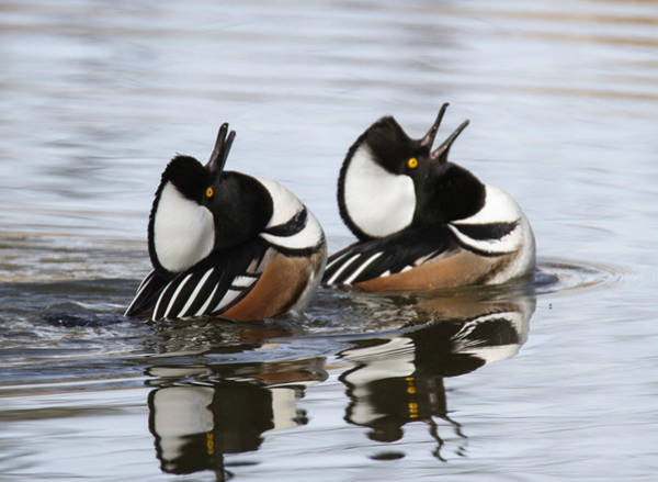 Courtship Photograph - Merganser Display by Angie Vogel
