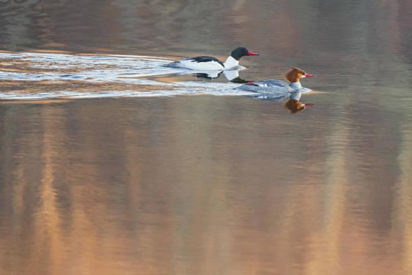 Photograph - Merganser Morning by Bill Wakeley