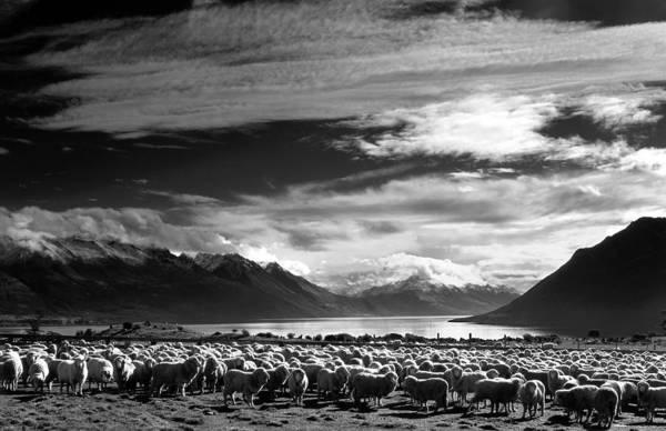 Merinos At Lake Wakatipu Art Print