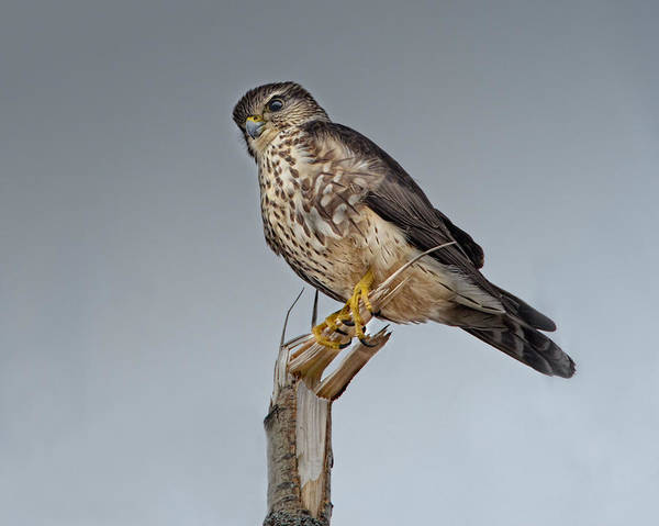 Wall Art - Photograph - Merlin Falcon by Susan Capuano