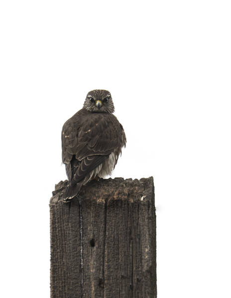 Photograph - Merlin On A Post by Loree Johnson