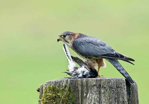 Falconiformes Photograph - Merlin Perched And Prey by John Devries/science Photo Library