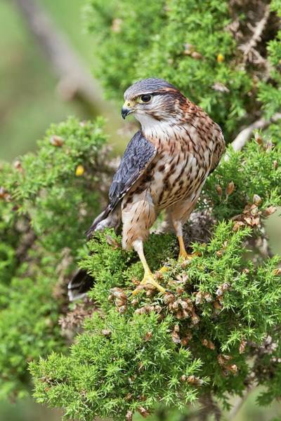 Falconiformes Photograph - Merlin Perched On A Conifer by John Devries/science Photo Library
