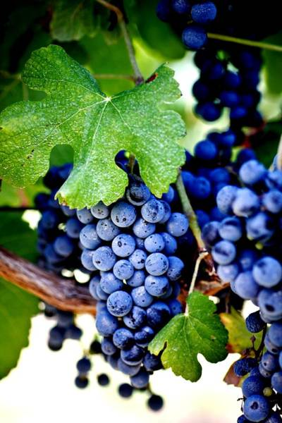 Wall Art - Photograph - Merlot Grapes Harvest Time by Ron Bartels