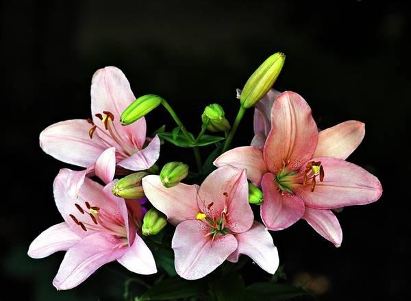Photograph - Merlot Lilies by Jp Grace