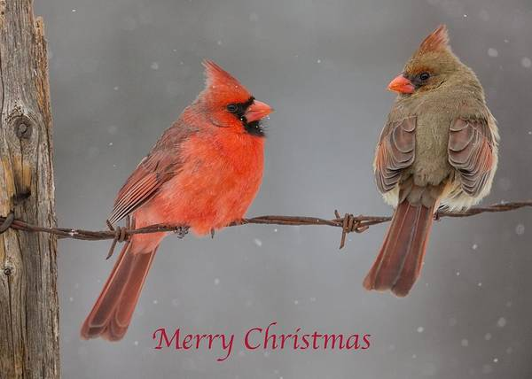 Merry Christmas Cardinals Art Print