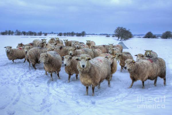 Ewe Photograph - Merry Christmas To Ewe by Nigel Jones