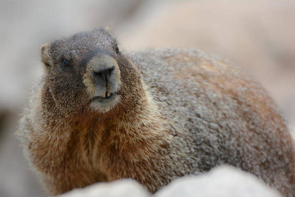 Photograph - Merry Marmot by Colleen Coccia