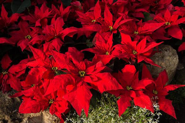 Merry Scarlet Poinsettias Christmas Star Art Print