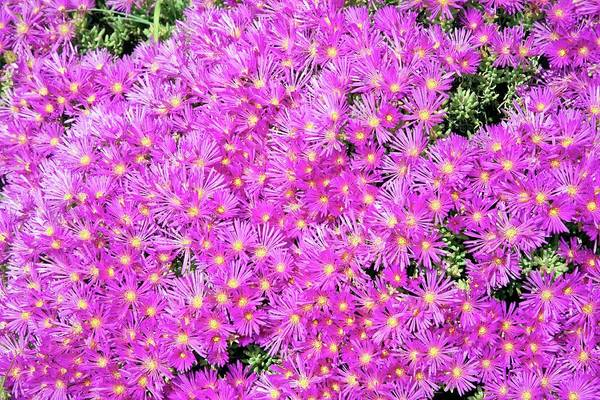 Wall Art - Photograph - Mesembryanthemum Flowers by Sheila Terry/science Photo Library