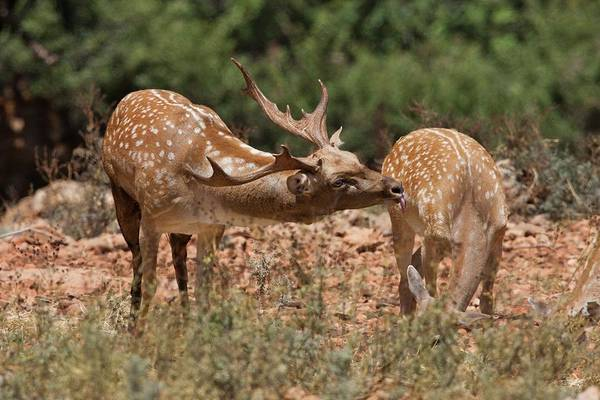 Dama Dama Photograph - Mesopotamian Fallow Deer by Photostock-israel