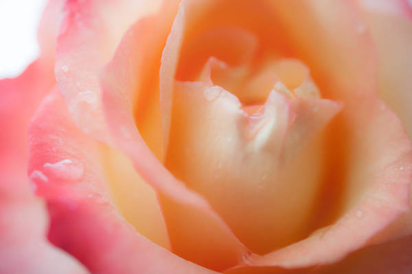 Photograph - Messenger From Another Realm. Ethereal Rose by Jenny Rainbow