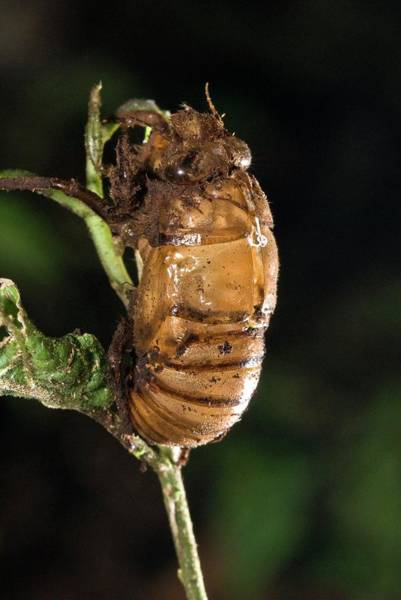 Cicada Wall Art - Photograph - Metamorphosing Cicada by Philippe Psaila/science Photo Library