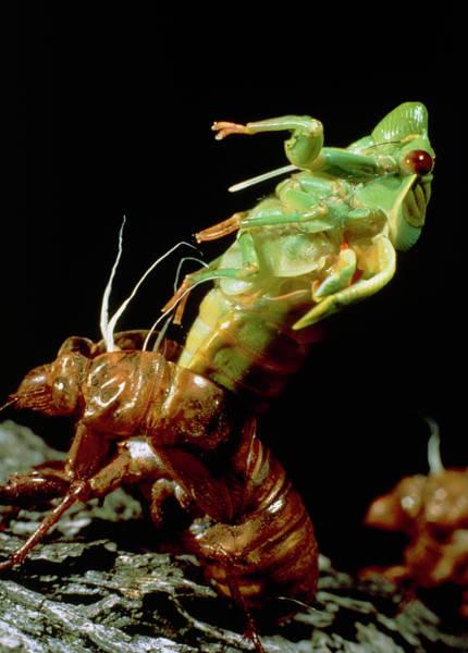 Cicada Wall Art - Photograph - Metamorphosis Of The Greengrocer Cicada by Judy Davidson/science Photo Library