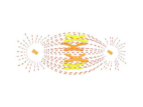 Division One Wall Art - Photograph - Metaphase In Cell Division by Science Photo Library
