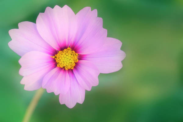 Aster Photograph - Mexican Aster (cosmos Bipinnatus) by Maria Mosolova/science Photo Library