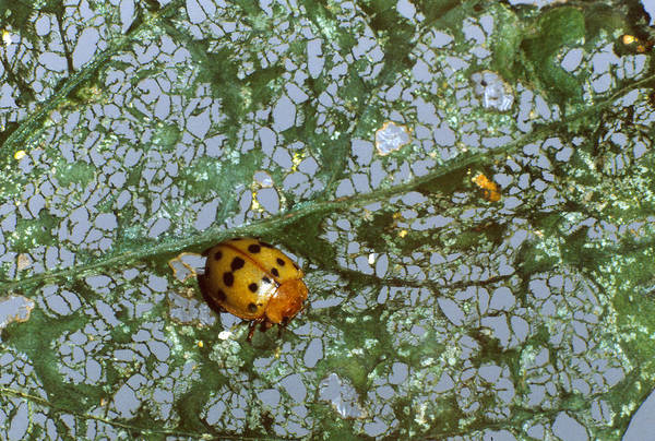 Mexican Bean Beetle Photograph - Mexican Bean Beetle by Harry Rogers