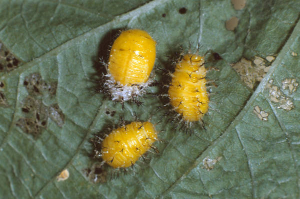 Mexican Bean Beetle Photograph - Mexican Bean Beetle Larvae by Harry Rogers
