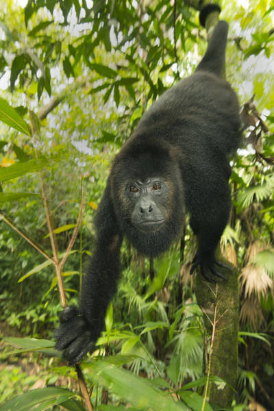 Art Print featuring the photograph Mexican Black Howler Monkey Belize by Kevin Schafer