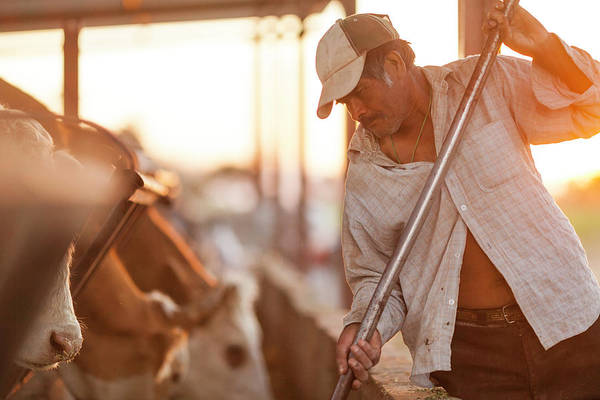 Senior Adult Photograph - Mexican Farmer Feeding Cattle by Randy Plett