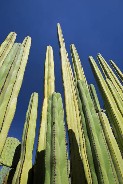 Wall Art - Photograph - Mexican Fence Post Cacti by Jim West