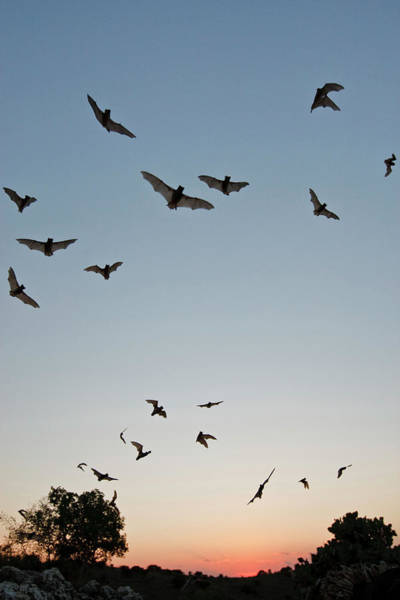 Colony Photograph - Mexican Free-tailed Bats (tadarida by Larry Ditto