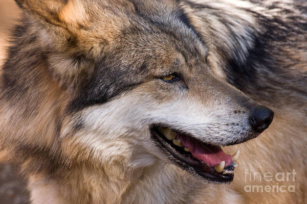 Photograph - Mexican Gray Wolf by Chris Scroggins