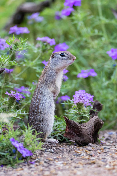 Forage Wall Art - Photograph - Mexican Ground Squirrel In Wildflowers by Larry Ditto