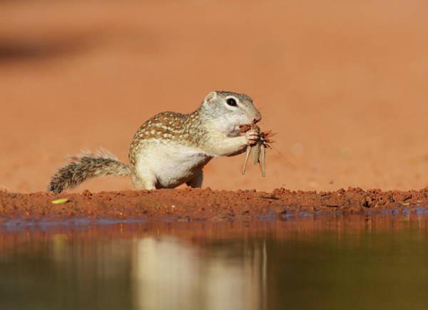 Wall Art - Photograph - Mexican Ground Squirrel (spermophilus by Rolf Nussbaumer