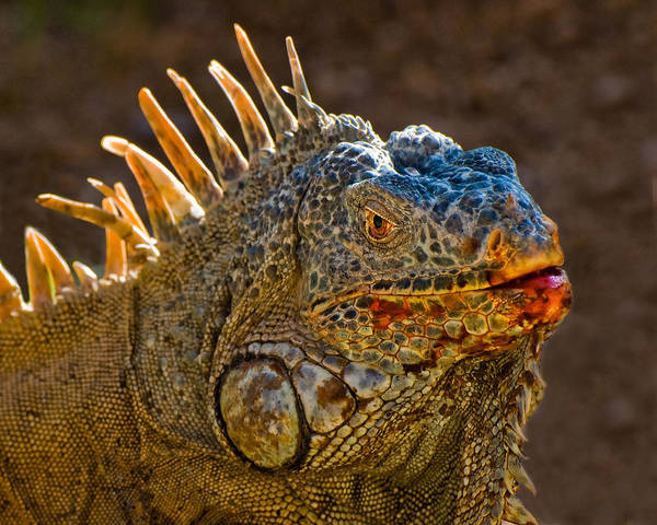 Photograph - Mexican Orange Iguana  by Ginger Wakem