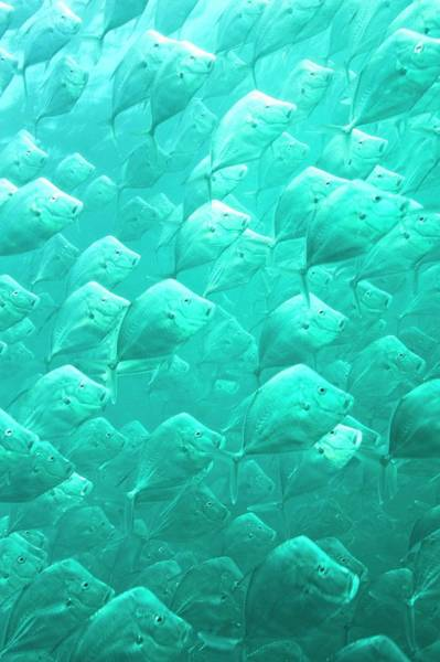 Pisces Photograph - Mexican Lookdown Shoal by Christopher Swann
