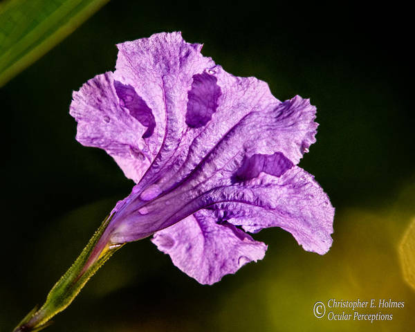 Photograph - Mexican Petunia Aglow by Christopher Holmes