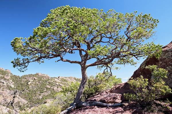 Chisos Mountains Photograph - Mexican Pinyon Pine (pinus Cembroides) by Bob Gibbons/science Photo Library